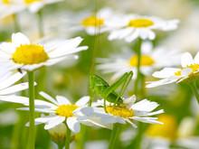 Green Grasshopper On White