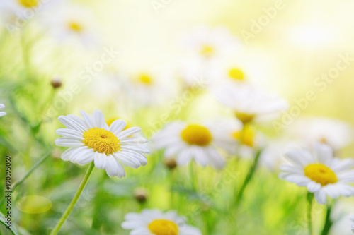 Foto op Canvas Madeliefjes daisies in the sunlight