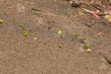 Leaf Cutter Ants At Work, Tran...