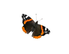 Beautiful Butterfly Admiral On...