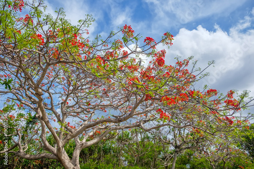 Delonix Regia Is A Tropical Tree With Red Flowers Typical Of Bali Also Known