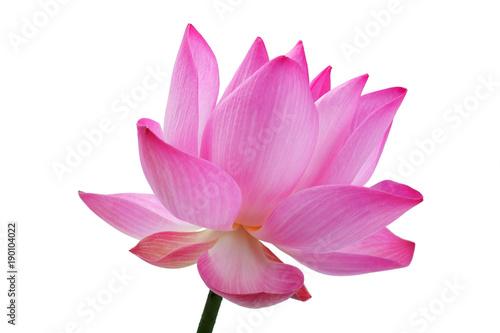 Staande foto Lotusbloem beautiful blooming lotus flower isolated on white background.