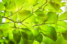 Spring Green Foliage, Backlit By Sunlight. Natural Background.