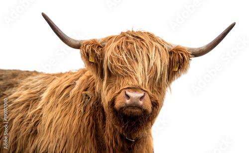 Fototapeta Scottish highland cattle on a white background obraz