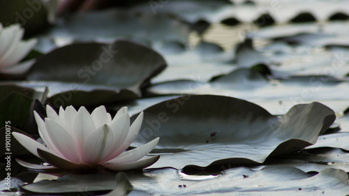 Photo Stands Water lilies Lotusblüte