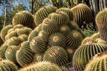 Golden Barrel Cactus In A Larg...