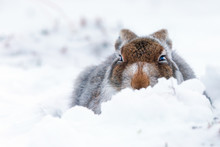 Mountain Hare In Snow In Scotl...