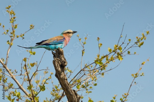 Lilac-breasted roller bird perching on tree