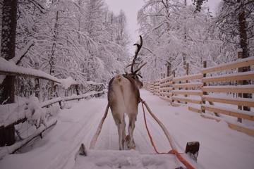 Fototapeta Inspiracje na zimę renifer