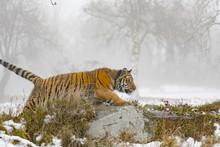 Siberian Tiger On Snow In Acti...