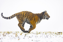 Siberian Tiger In Action On Wh...