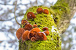 canvas print picture - Mushrooms known as Jews ear on mossy tree stem