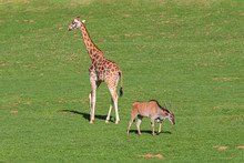 Southern Eland And Giraffe Together In A Meadow.