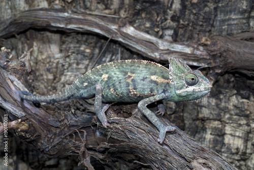 Poster Chamaleon Jemenchamäleon (Chamaeleo calyptratus) - Veiled chameleon
