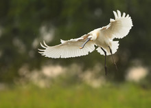 Eurasian Spoonbill, Platalea Leucorodia, Large, White Colored Wading Bird Landing With Spread Wings On A Small Lagoon. Summer In Europen Wetland, Blurred Forest In Background.Europe, Hungary