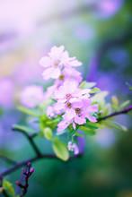 Flowers Of Pear Tree Blossom I...
