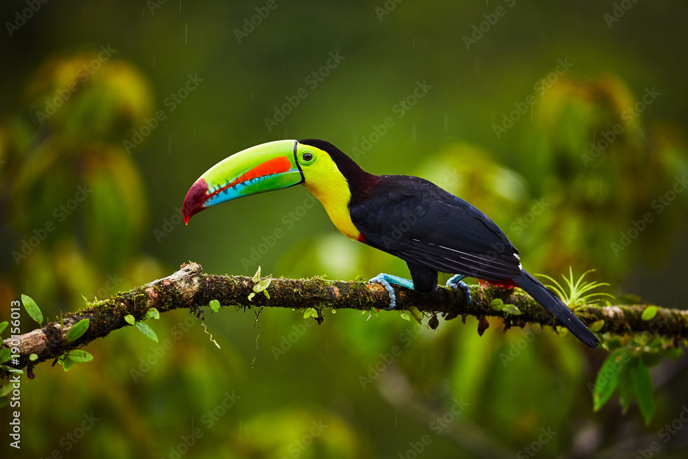 Fototapeta Portrait of Keel-billed Toucan (Ramphastus sulfuratus) perched on branch at Tropical Reserve. In Costa Rica. Wildlife bird