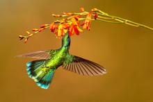 Hummingbird Green Violet-ear, ...