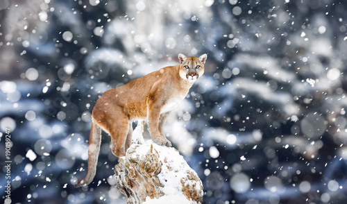 Poster Puma Portrait of a cougar, mountain lion, puma, Winter mountains. Winter scene in wildlife America, snow storm, snowfall