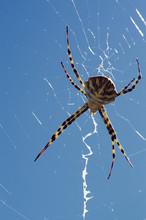 Argiope Lobata Spider And Web ...
