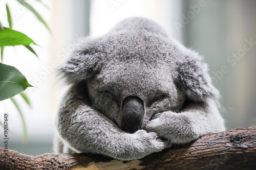 Recess Fitting Koala Sleeping koala closeup