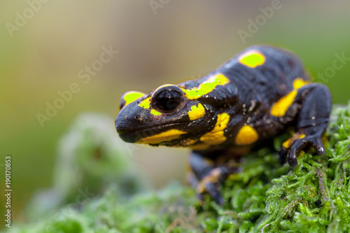 Head of a Fire salamander newt looking in camera