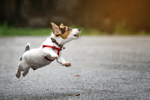 Jack Russell Terrier Dog Running And Jumping