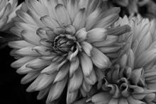 Beautiful Soft Black And White Flower Study