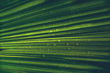 Abstract Green Palm Leaves Nature With Rain Drop