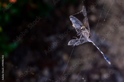 Dragonrfly on a spider web