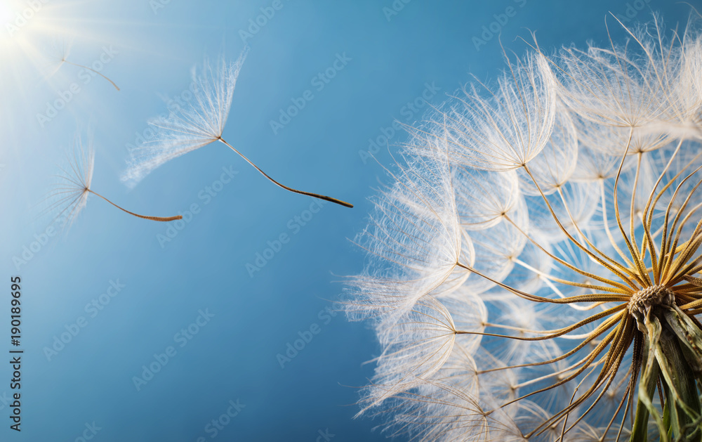 Fototapety, obrazy: Flying Dandelion seeds in the morning sunlight blowing away in the wind across a blue sky.