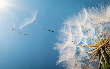 Flying Dandelion seeds in the morning sunlight blowing away in the wind across a blue sky.