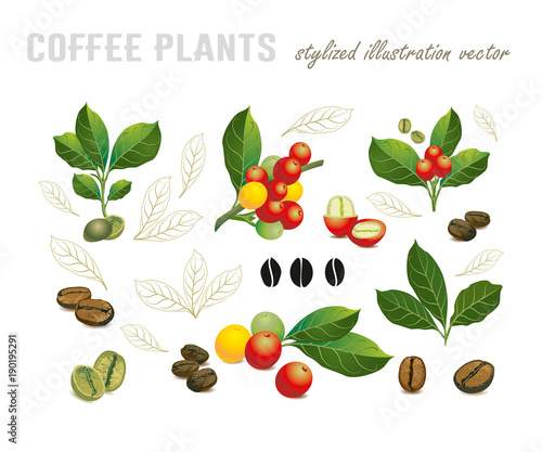 Collection of coffee beans on a branch of coffee tree