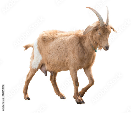Brown goat with milk udder. In move. A series of photos. Isolated