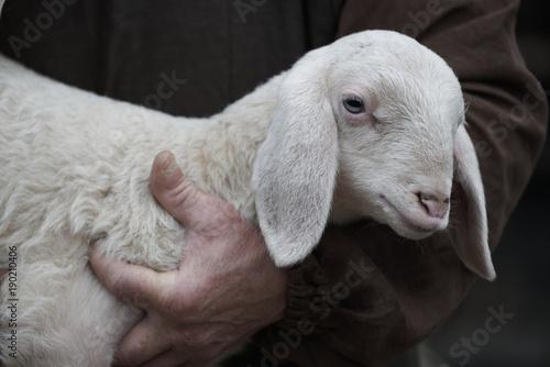 Foto Close up of lamb in shepherd's arm