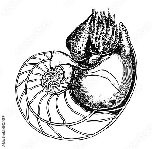 Fotografie, Obraz  Perlboot - pearly nautilus - pearly nautilus
