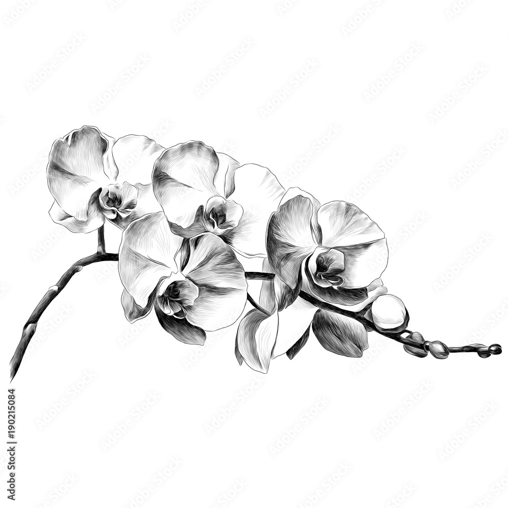 Fototapeta Orchid flower sketch vector graphics monochrome drawing