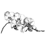 Fototapeta Storczyk - Orchid flower sketch vector graphics monochrome drawing