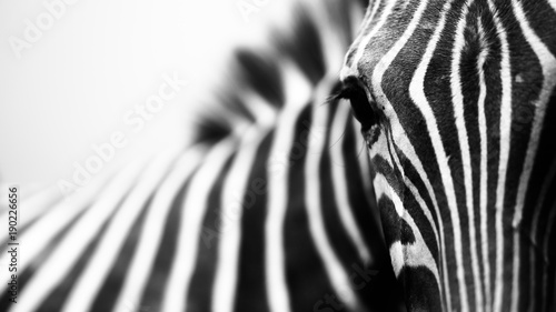 Poster Zebra Close-up encounter with zebra on white background