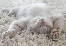 Cute Cat Lying On The Back Like On A Carpet