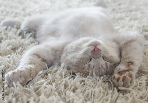 Fotoposter Kat Cute cat lying on the back like on a carpet