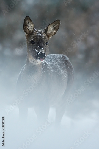 Foto op Canvas Ree Roe deer in snowfall