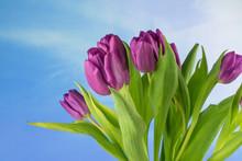Purple Tulips, Blue Sky And Copy Space