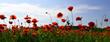 Opium poppy, botanical plant, ecology.