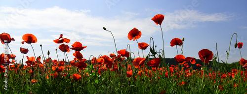 Opium poppy, botanical plant, ecology. - 190241878