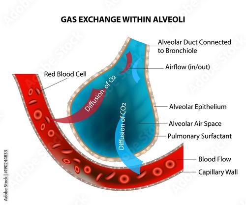 GAS EXCHANGE WITHIN ALVEOLI Canvas Print