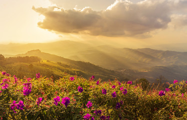 FototapetaPink impatiens balsamina flowers with sunset landscape view at mountains at doi chang mup Chiangrai,nothern Thailand