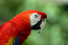 Face Of The Scarlet Macaw (Ara...