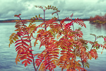 Red Leaves Of Mountain Ash Cov...