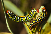 Spurge Hawk-moth Caterpillars ...